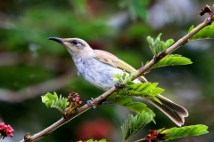 BROWN HONEYEATER PALM COVE QLD