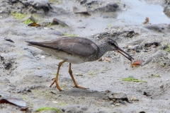 GREY-TAILED TATTLER CAIRNS QLD