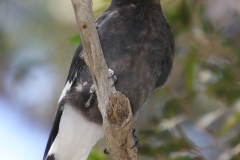 PIED CURRAWONG MALLACOOTA