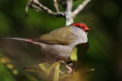 RED BROWED FINCH MALLACOOTA VIC
