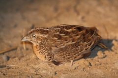 Red-chested Button-Quail Cape York QLD