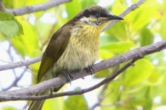 VARIED HONEYEATER CAIRNS QLD