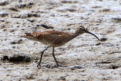 WHIMBREL CAIRNS QLD