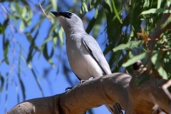 WHITE-BELLIED CUCKOO-SHRIKE PALM COVE QLD