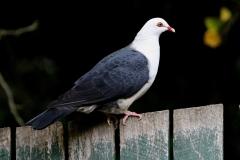 WHITE-HEADED PIGEON MALLACOOTA VIC