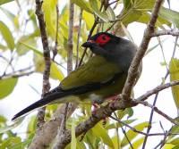 figbird-airlie-beach-qld