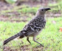 great-bowerbird-airlie-beach-qld