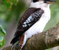 laughing-kookaburra-cairns-qld_0