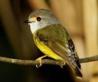 pale-yellow-robin-mt-malloy-qld