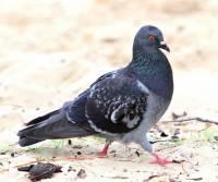 rock-dove-cairns-qld
