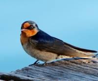 wellcome-swallow-haymon-island-qld